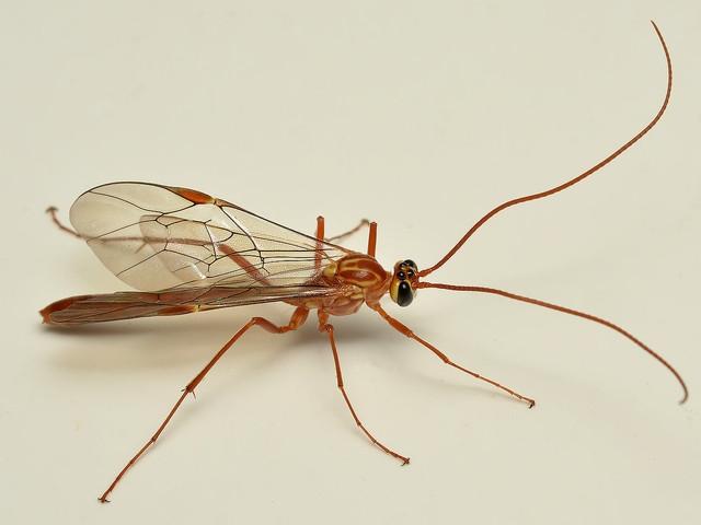 5535 アメバチ属(Ophion)の一種