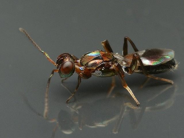 44 ナガコバチ科 Anastatus属の一種