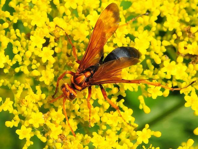 74 ベッコウクモバチ(メス)