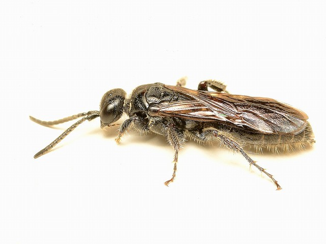 70 コツチバチ科の一種
