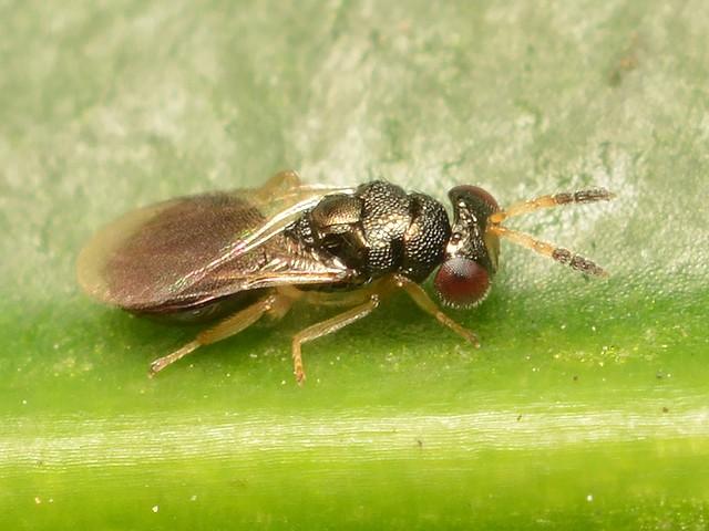 49 ヒメコバチ科 Deutereulophus sp. (メス)