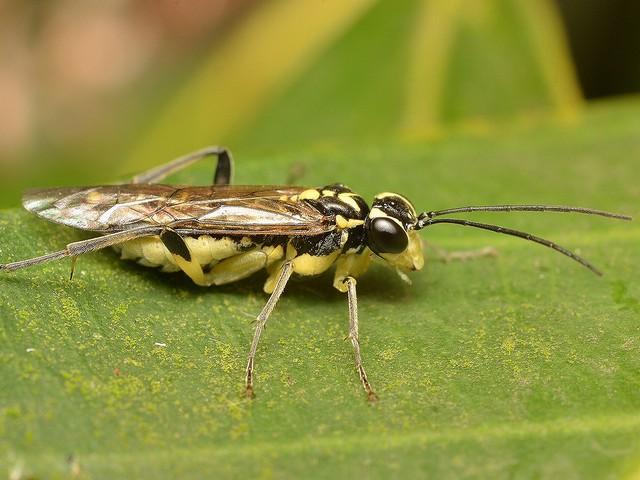 09 キモンハバチ属( Pachyprotasis )の一種