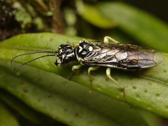02 ヒラタハバチ科の一種