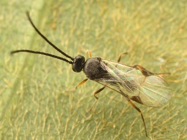 5621 サムライコマユバチ亜科 Cotesini族の一種
