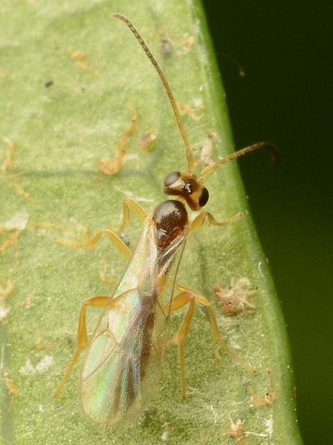 55 ヒメバチ科の一種