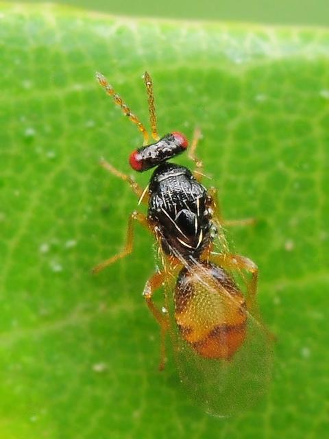 49 ヒメコバチ科 Euplectrus属