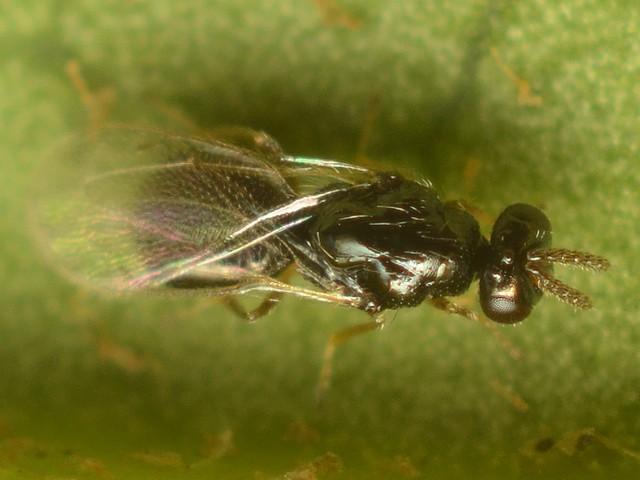 49 ヒメコバチ科 Elachertus属