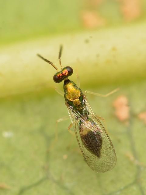 49 ヒメコバチ科 Sympiesis属の一種