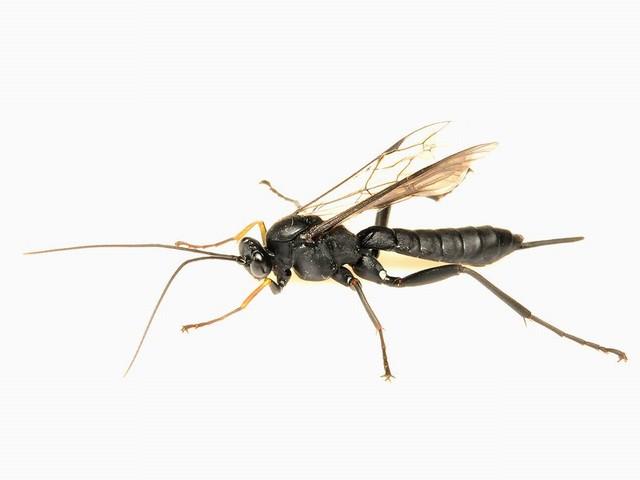 5542 ヒラタヒメバチの一種