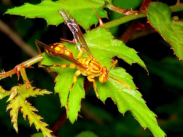 81 ムモンホソアシナガバチ