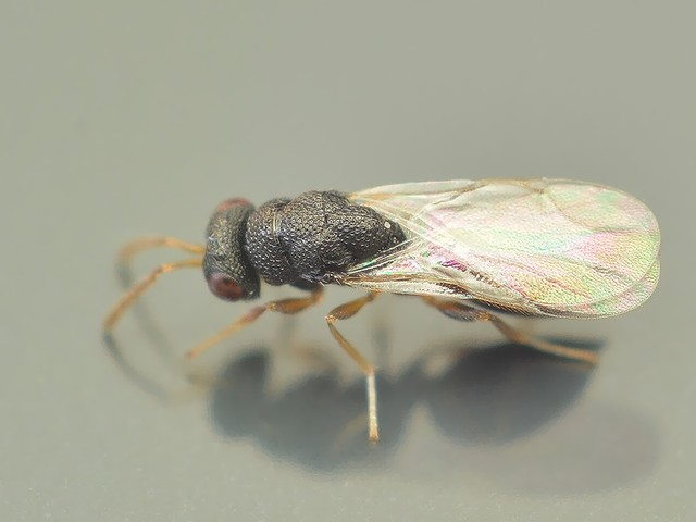 37 カタビロコバチ科Eurytoma属の一種