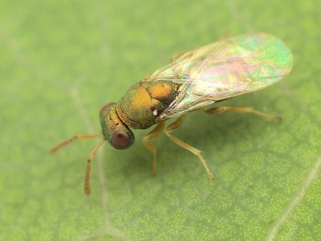 39 コガネコバチ科 Mesopolobus属