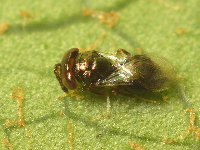 39 コガネコバチ科 Moranila属の一種