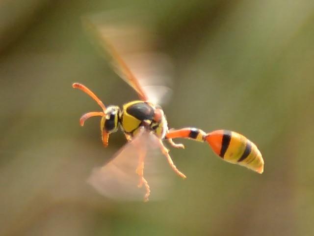 80 クロスジスズバチ