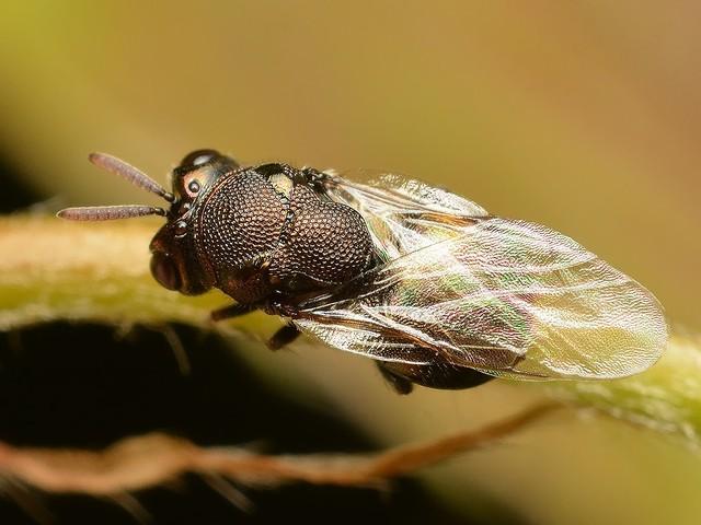 42 マルハラコバチ科 Perilampus属