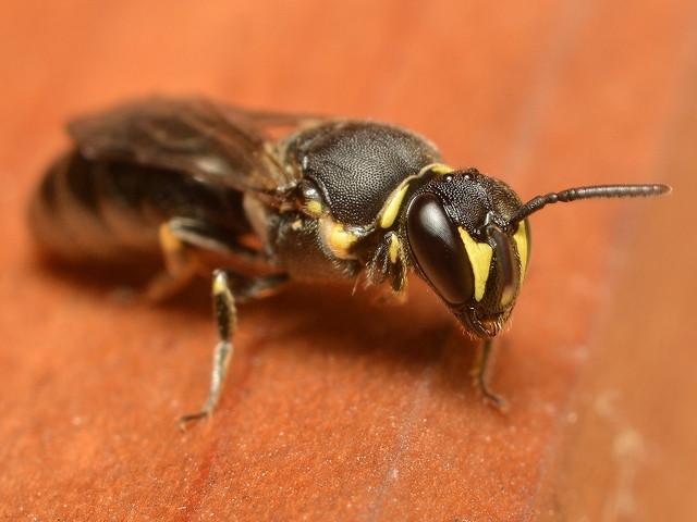 92 ムカシハナバチ科メンハナバチ亜科の一種