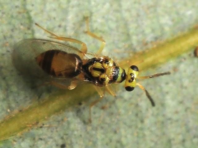 49 ヒメコバチ科 Euplectromorpha nigromaculatus