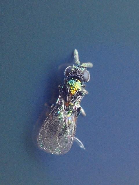 49 ヒメコバチ科 Pediobius atamiensis