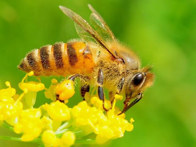 979 セイヨウミツバチ