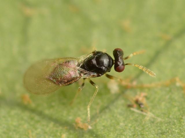 49 ヒメコバチ科 Tetrastichinae亜科の1種
