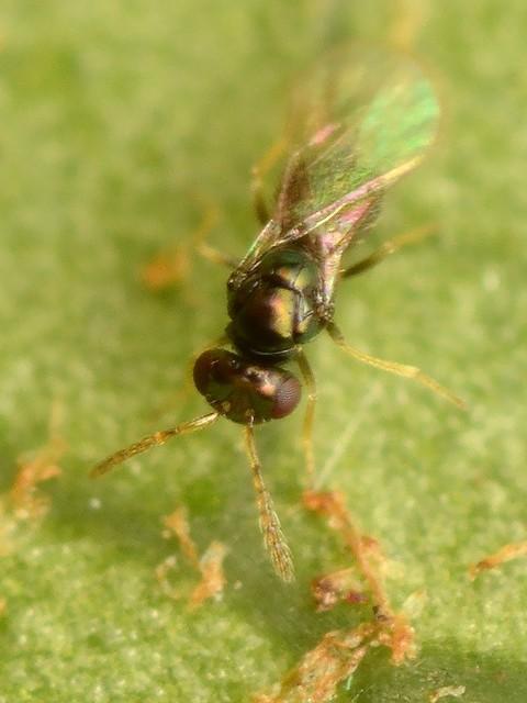 49 ヒメコバチ科 Tetrastichinae亜科の1種?