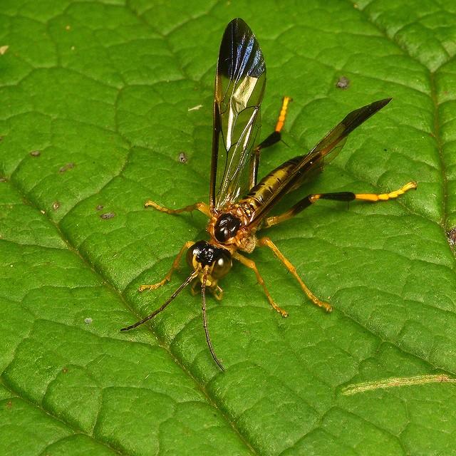 09 ツマグロハバチ