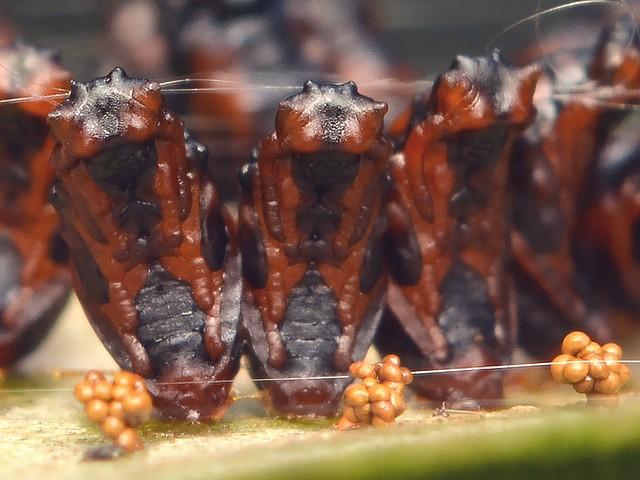 49 ヒメコバチ科 Eulophus abdominalis の蛹