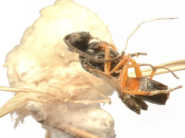5621 サムライコマユバチ亜科の一種