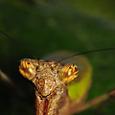 ヒメカマキリ