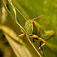 ツチイナゴ(幼虫)