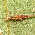 134 ヒメカゲロウ科の幼虫