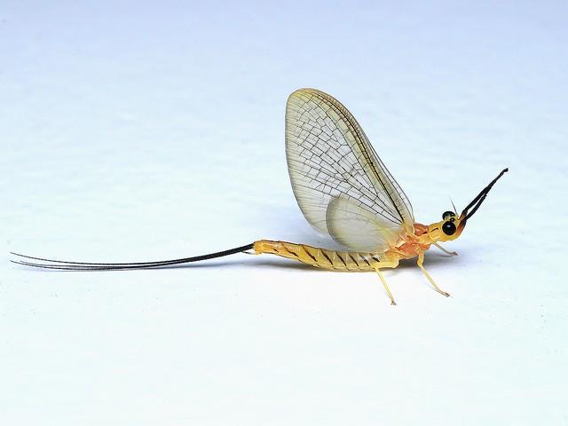 051 フタスジモンカゲロウ(メスの成虫)
