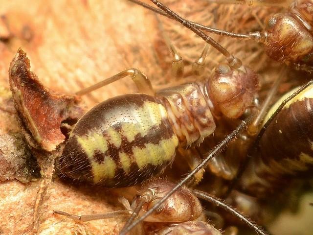 078 クロミャクチャタテの幼虫?