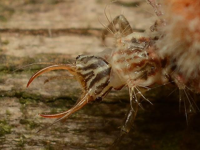 137 カオマダラクサカゲロウ(幼虫)