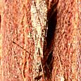 12 カモドキサシガメ属 Empicoris suminoi