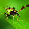 07 ハリカメムシ(3齢幼虫)