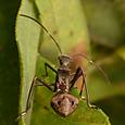 072 ホソヘリカメムシ(幼虫)