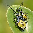 07 キバラヘリカメムシ(幼虫)