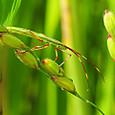 07 クモヘリカメムシ(幼虫)