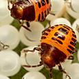 04 クサギカメムシ(1齢幼虫)