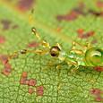 14 クスベニヒラタカスミカメ(幼虫)