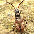 08 オオモンシロナガカメムシ(幼虫)