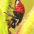 33 シロオビアワフキ(幼虫)