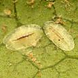 74 ミカンワタカイガラムシ(幼虫)