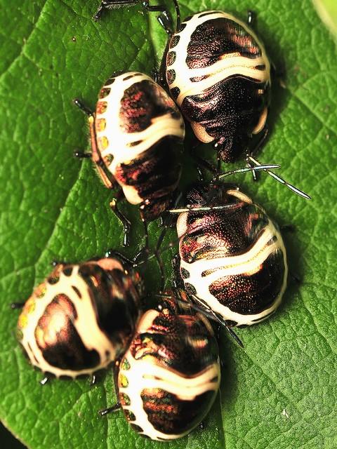 03 アカスジキンカメムシの4齢幼虫