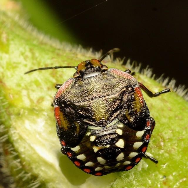04 ミナミアオカメムシ(幼虫)