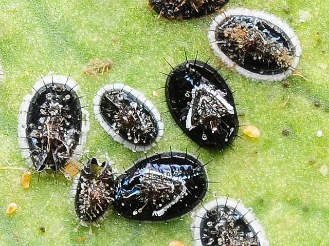 72 チャトゲコナジラミ(幼虫)