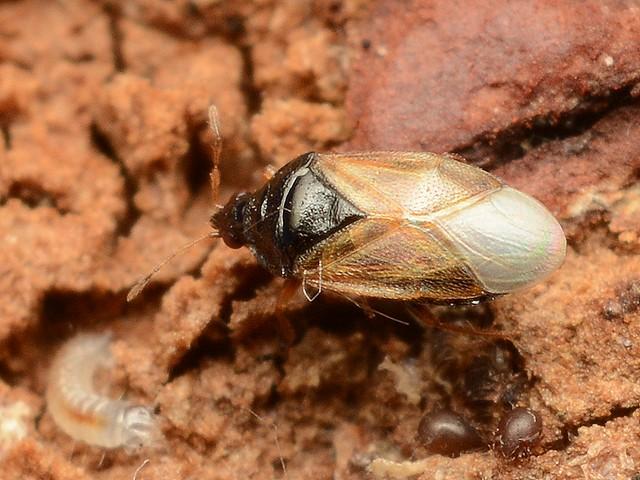 13 ヒメハナカメムシの一種(Orius sp.)