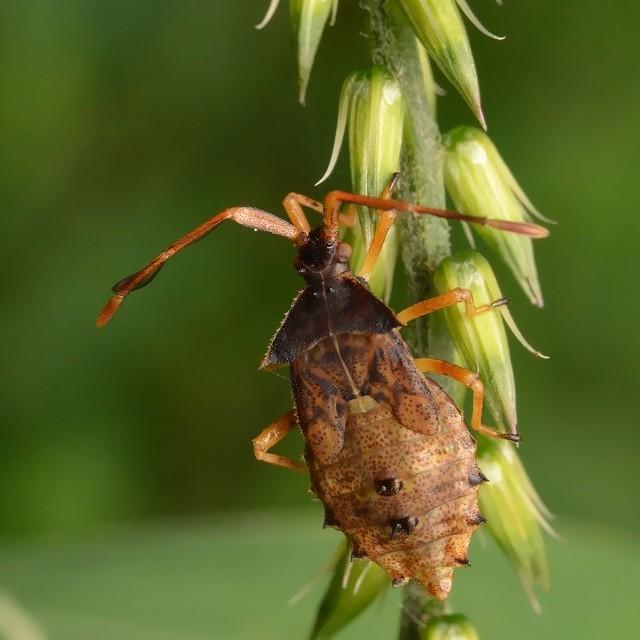 07 ホソハリカメムシ(幼虫)