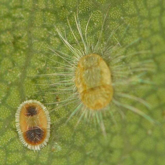 71 シラカシトガリキジラミ(幼虫1)